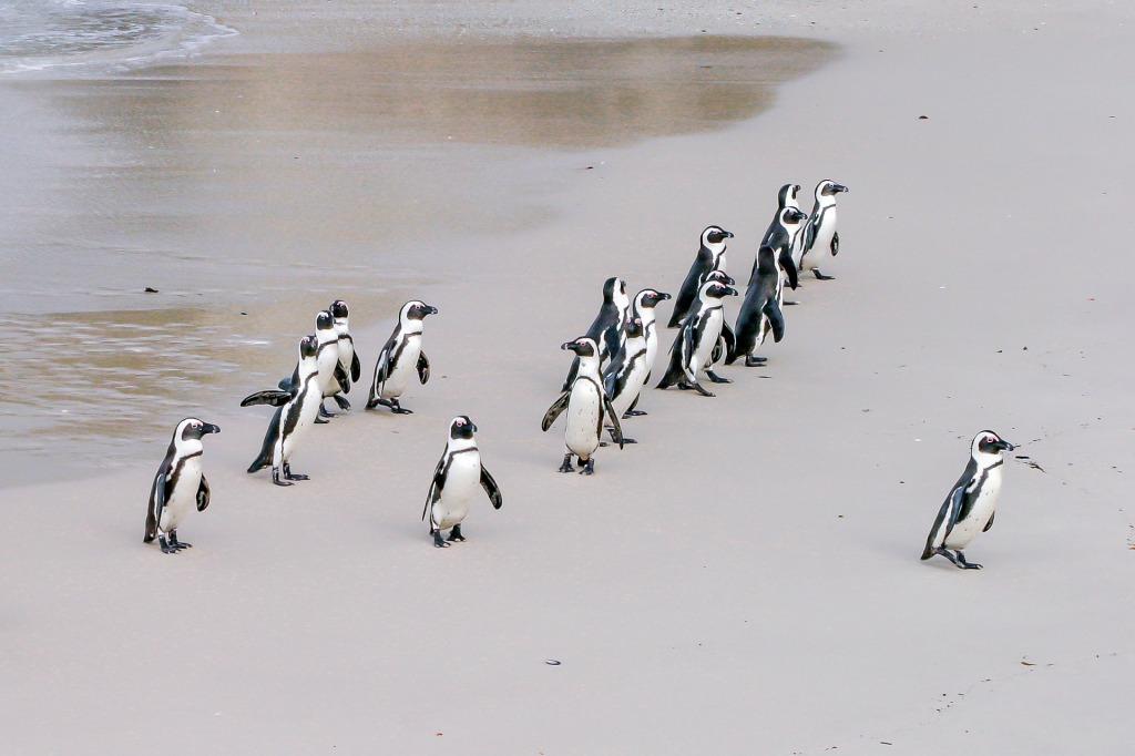 Pingüins caminant amb un líder